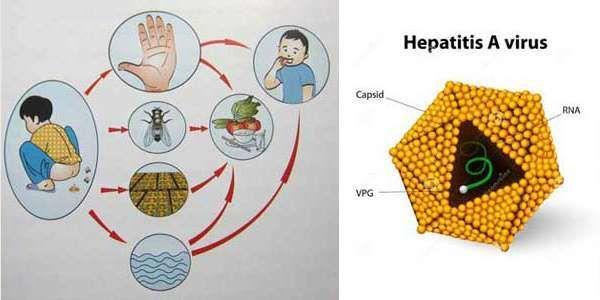 Bệnh viêm gan A lây qua đường nào và những lưu ý quan trọng cần biết