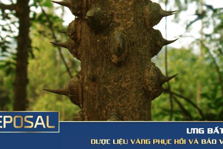 Ưng Bất Bạc, dược liệu quý ngàn năm bảo vệ lá gan người Việt