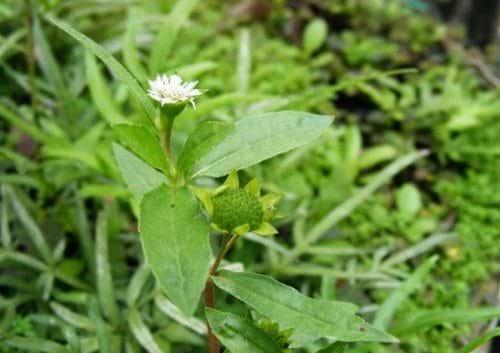 Ngoài khả năng điều trị bệnh viêm gan B, cỏ nhọ nồi còn giúp thải độc gan