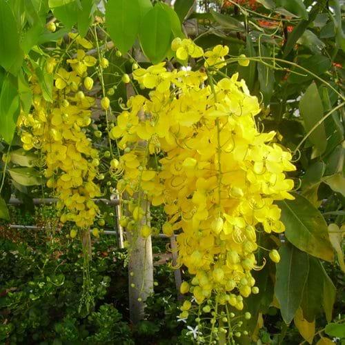 Cây muồng hoàng yến hay còn gọi là bọ cạp vàng, hoa hoàng hậu
